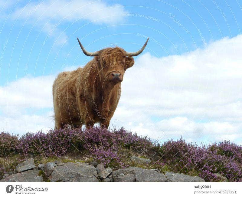 neugieriges schottisches Hochlandrind... Schottisches Hochlandrind Schottland Kuh Rind Tier Nutztier Blick in die Kamera Tag Wiederkäuer Neugier