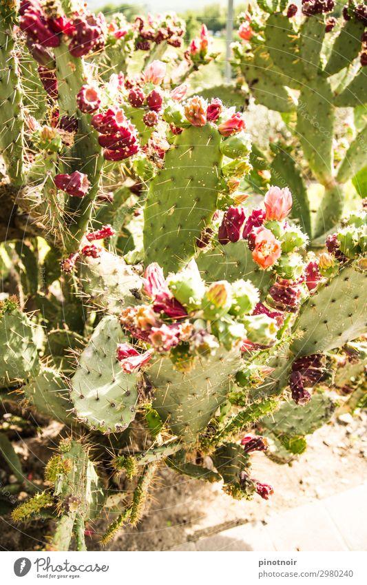Kaktusfeigen an Opuntie Frucht Vegetarische Ernährung Sommer Natur Pflanze Erde Garten Park Blühend Wachstum exotisch hell stachelig trocken grün rosa