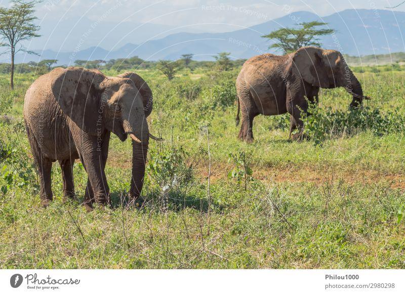 Zwei Elefanten im Samburu Park sind damit beschäftigt. Spielen Ferien & Urlaub & Reisen Safari Natur Tier groß Afrika Kenia Afrikanisch Schlacht Verhalten