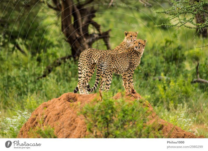 Zwei Geparden saßen auf einem Termitenhügel. schön Erholung Paar Umwelt Natur Landschaft Tier Gras Hügel Katze beobachten lang gefährlich Afrika Kenia Samburu