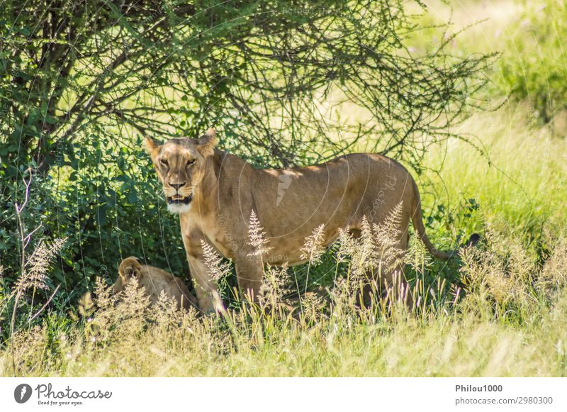 Löwin unter einem Baum in der Savanne Safari Frau Erwachsene Natur Landschaft Pflanze Tier Gras Blatt Felsen Pelzmantel Katze Vogel sitzen kuschlig unten Kenia