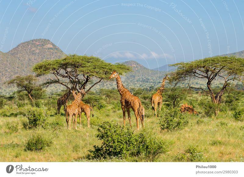 Giraffenschwärme in der Savanne schön Gesicht Safari Mund Natur Tier lang niedlich wild braun grün weiß Afrika Kenia Samburu Afrikanisch Hintergrund Kopf