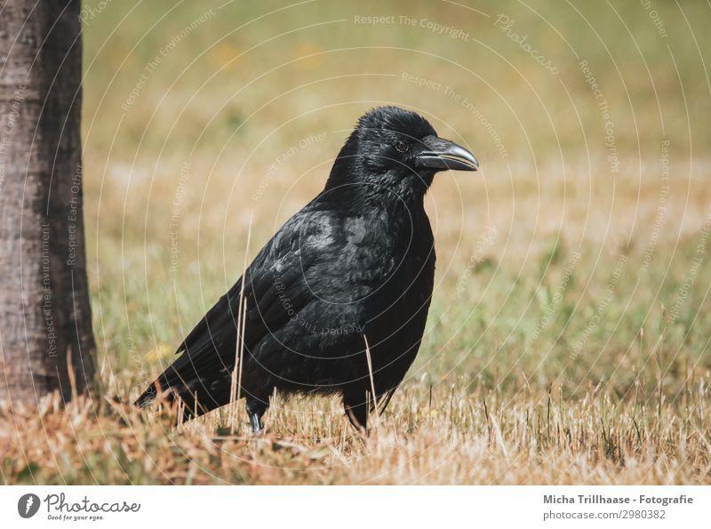 Rabe auf der Wiese Natur grün Baum Tier schwarz gelb Auge natürlich Gras orange Vogel Kopf glänzend Wildtier Feder