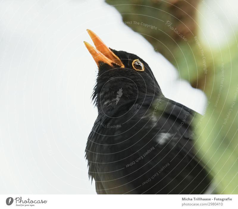 Singende Amsel im Baum Natur Tier Himmel Sonnenlicht Schönes Wetter Blatt Zweige u. Äste Wildtier Vogel Tiergesicht Flügel Schnabel Kopf Auge Feder gefiedert 1