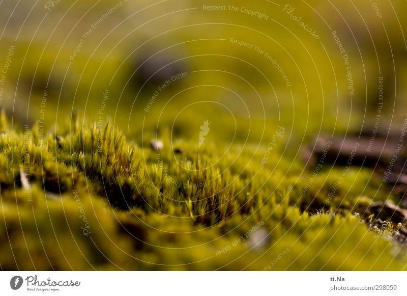 Rømø | Moosbett Frühling Wachstum klein weich grün Natur Umwelt Umweltverschmutzung Umweltschutz Farbfoto Makroaufnahme Textfreiraum oben Schwache Tiefenschärfe