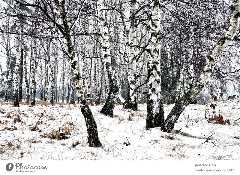 Birkenhain Landschaft Winter Baum Birkenwald Wald Natur Gedeckte Farben Außenaufnahme
