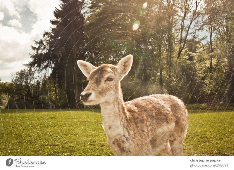 Reh'genlicht Frühling Park Wiese Wald Tier Haustier Wildtier Tiergesicht Fell Zoo Streichelzoo Ricke 1 beobachten Fressen warten natürlich niedlich wild Natur