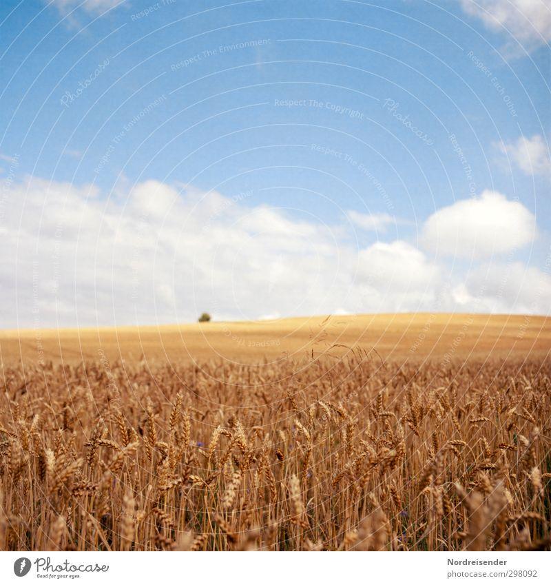 Sommerwärme Himmel blau weiß Sonne Farbe Wolken gelb Arbeit & Erwerbstätigkeit Lebensmittel Feld Klima Wachstum Schönes Wetter Ernährung Freundlichkeit