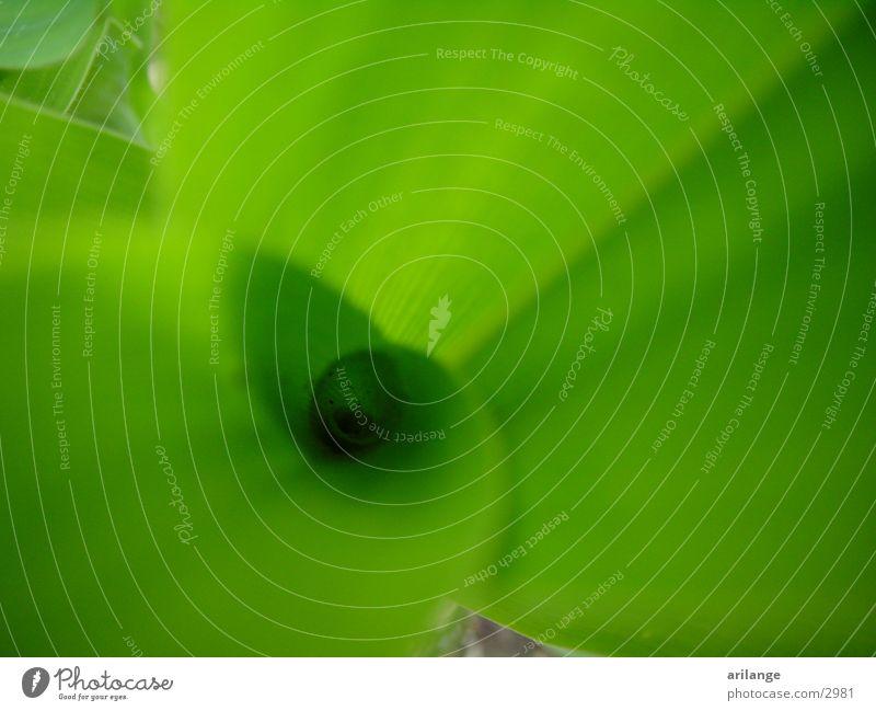 Mais grün Pflanze Detailaufnahme