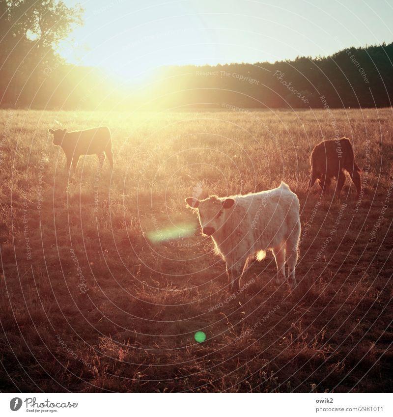 Nach Hause zotteln Horizont Sonne Baum Gras Wiese Wald Kalb 3 Tier beobachten leuchten Blick stehen wandern warten hell ruhig Idylle Zufriedenheit Rind