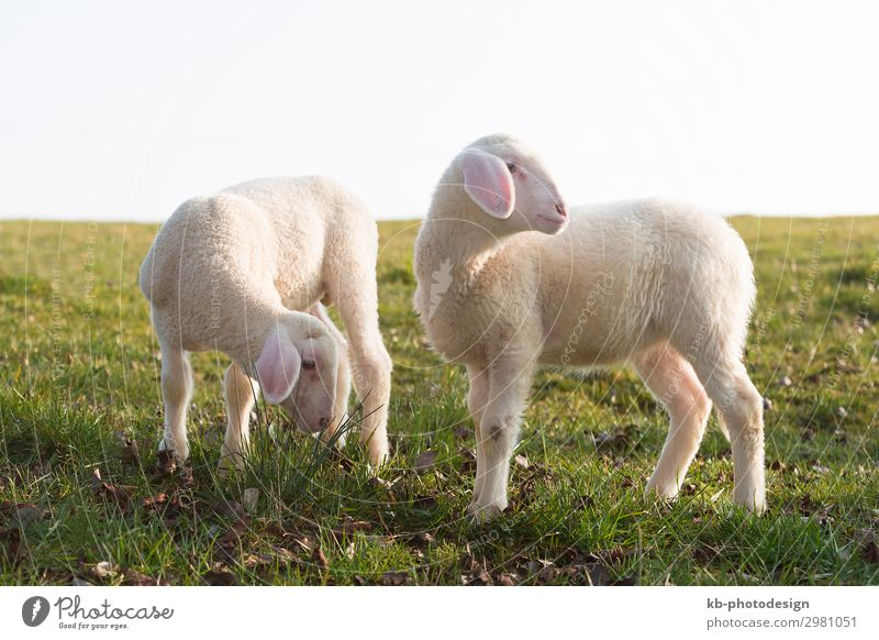 Two young lambs on a meadow Natur Tier Nutztier Fell Schaf 2 Tierpaar Tierjunges springen Sheep lamps animals Wool Easter Easter Lamb Meadow Rasieren natural