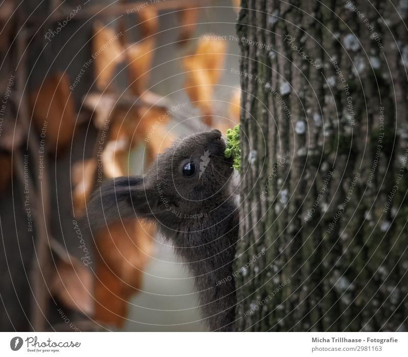 Junges Eichhörnchen mit frischem Grün Natur Tier Sonnenlicht Schönes Wetter Baum Blatt Wald Wildtier Tiergesicht Fell Kopf Auge Ohr Maul Nase 1 Tierjunges