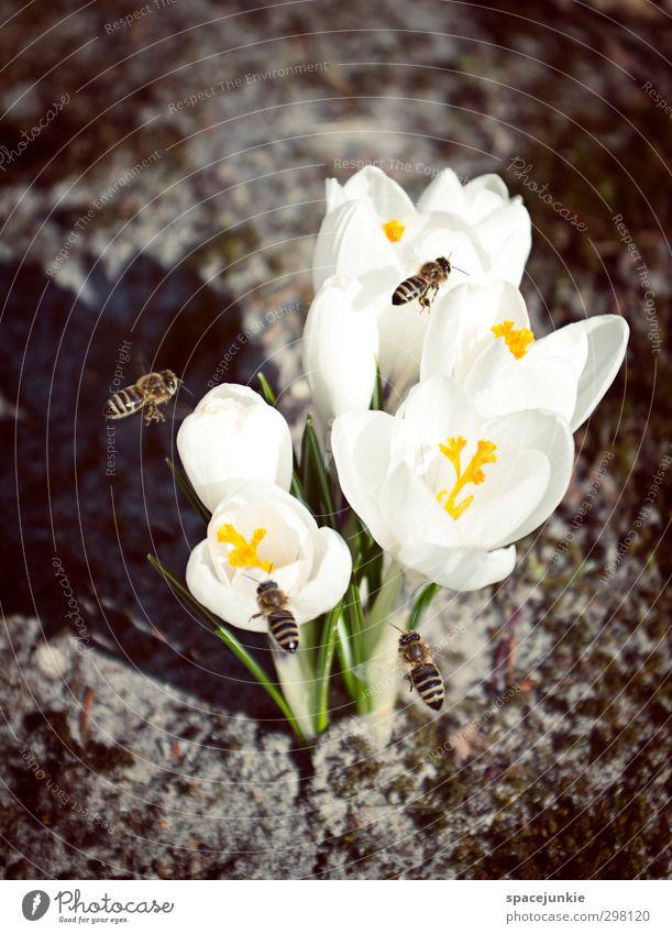 Bienenglück Natur grün weiß Pflanze Tier Umwelt Frühling Blüte Garten Park fliegen Tiergruppe entdecken Nutztier Frühlingsgefühle