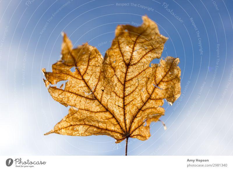Getrocknetes Blatt vor blauem Himmelshintergrund Natur Pflanze Sonnenlicht Herbst Winter Schönes Wetter Baum beobachten entdecken Blick träumen frei einzigartig