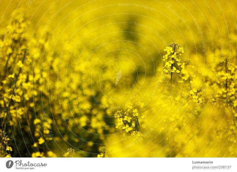yellow Umwelt Landschaft Frühling Sommer Pflanze Nutzpflanze Rapsfeld Feld schön gelb Stimmung Glück Frühlingsgefühle Optimismus Kraft Lebensfreude Wachstum