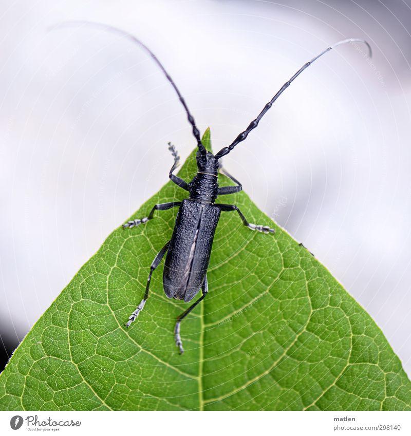 randständig grün weiß Pflanze Tier Blatt schwarz Käfer Blattadern