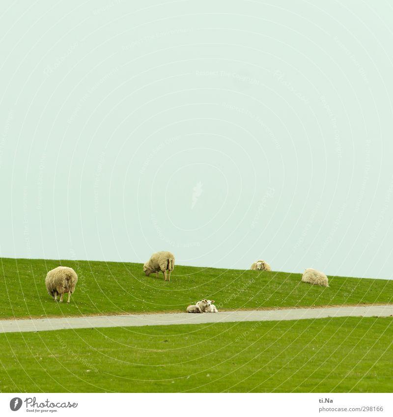 Kuscheltiere Frühling Gras Nordsee Deich Haustier Nutztier Schaf Lamm Tiergruppe Tierpaar Tierjunges Tierfamilie berühren Erholung Fressen liegen schlafen