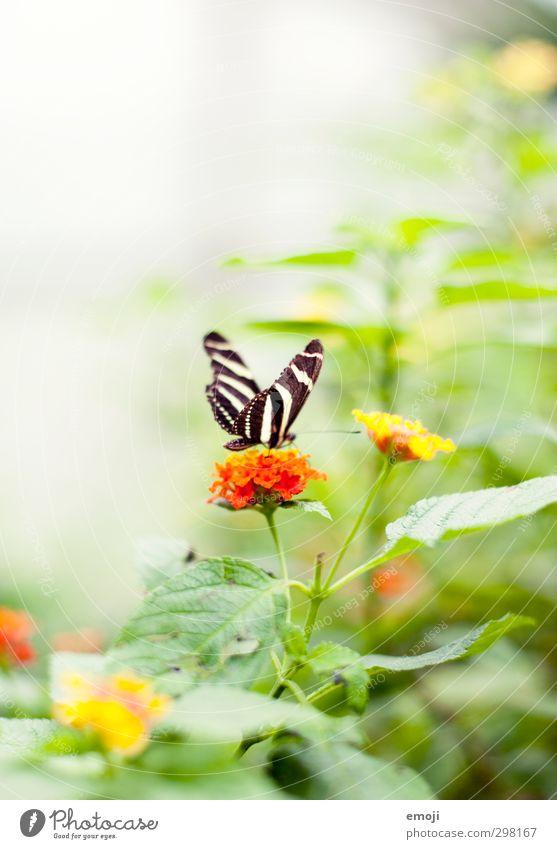 mach ma 'n Abflug Umwelt Natur Pflanze Tier Frühling Blume Sträucher Wildtier Schmetterling 1 exotisch hell natürlich grün orange Farbfoto Außenaufnahme