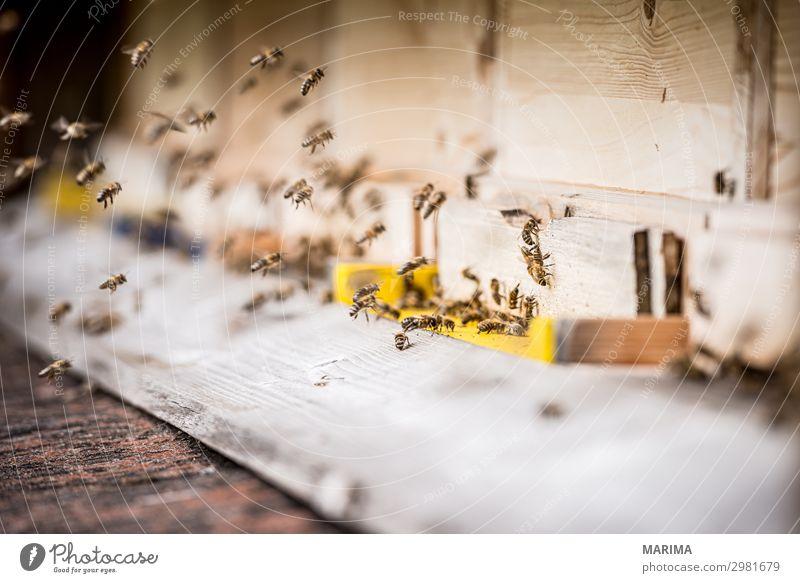 honeybee Natur Tier Nutztier Biene Schwarm fliegen Apis mellifera Apoidea Apiformes Apidae Bienenkorb Bienenstock Pollen Echte Bienen Honigbiene
