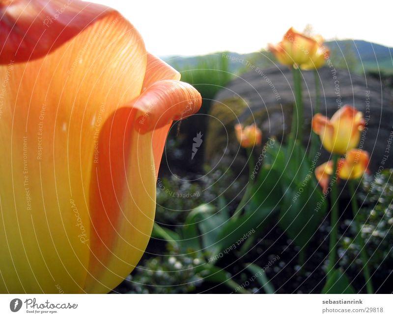 tulip Tulpe Blume gelb rot Pflanze orange Stein Natur