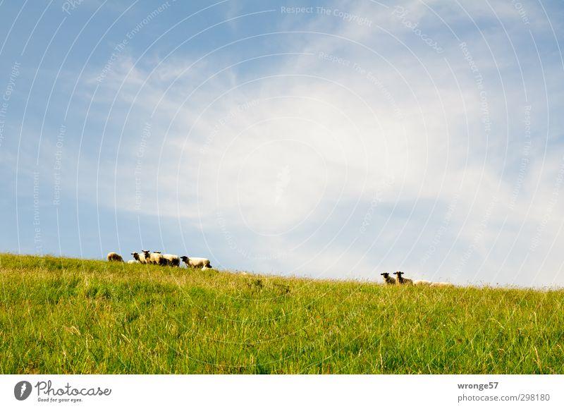 mäh mäh Landschaft Himmel Sommer Schönes Wetter Gras Wiese Hügel Insel Mönchgut Zickersche Berge Tier Haustier Nutztier Schafherde Tiergruppe Herde Neugier