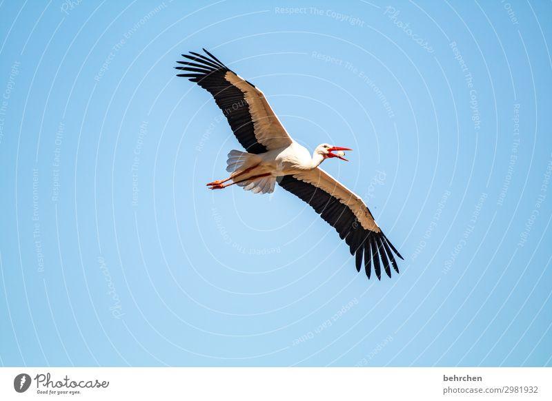 mahlzeit Himmel Natur schön Ferne Vogel fliegen Luft Wildtier Feder Flügel Fressen Tiergesicht Küken Storch gleiten besonnen