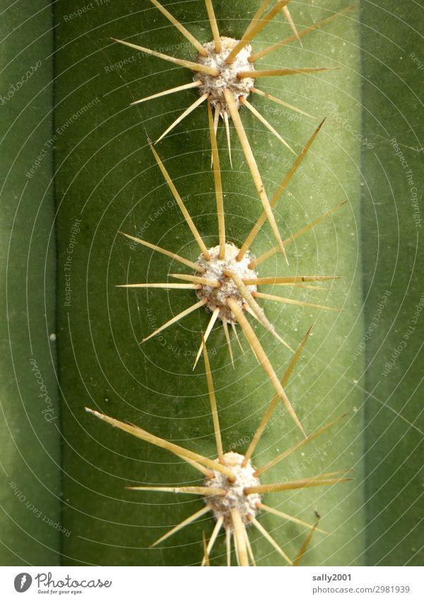 Vorsicht scharf und spitz... Pflanze grün gefährlich Spitze bedrohlich rebellisch Kaktus stechen