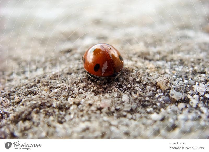Lieber allein sein Tier Käfer Marienkäfer 1 Punkt krabbeln grau rot schwarz Enttäuschung Einsamkeit Farbfoto Makroaufnahme Tag Schwache Tiefenschärfe