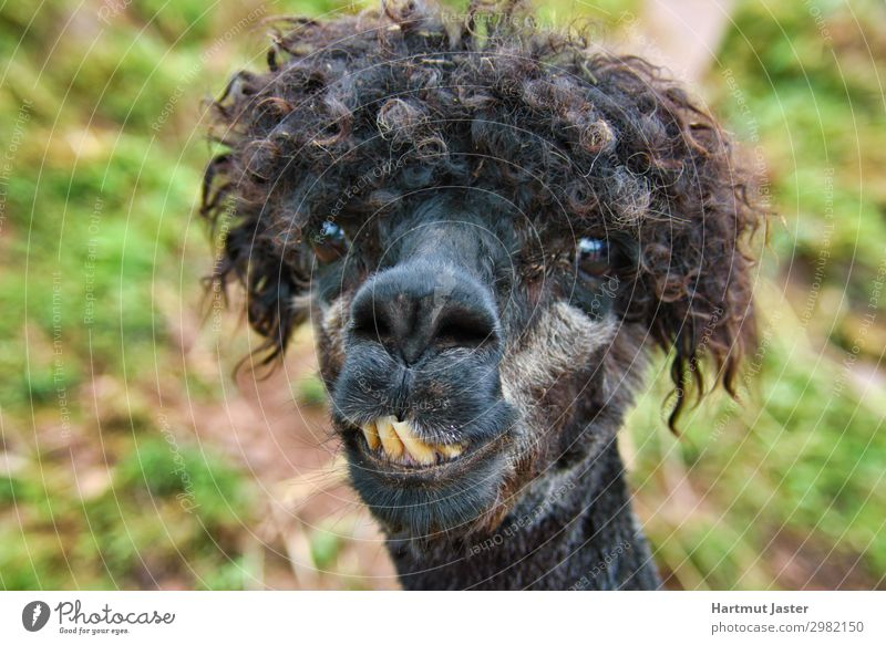 Crazy Otto Tier Nutztier Tiergesicht 1 beobachten Blick lustig Neugier verrückt gelb schwarz Natur Farbfoto Außenaufnahme Morgen Sonnenlicht Tierporträt
