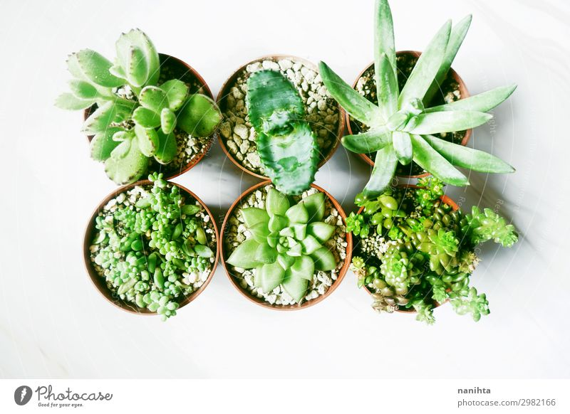 Sechs schöne und grüne Sukkulentenpflanzen Garten Dekoration & Verzierung Natur Pflanze Blume Blatt Blüte Topfpflanze exotisch Fetthenne Echeverien Keimblatt