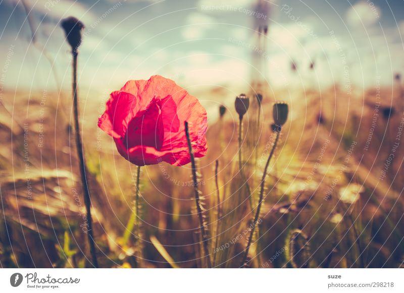 Mohna Lisa Sommer Landwirtschaft Forstwirtschaft Umwelt Natur Landschaft Pflanze Urelemente Himmel Wolken Schönes Wetter Wind Blüte Feld Wachstum schön retro