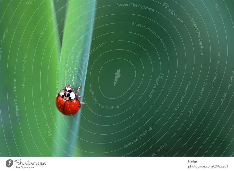 ein kleiner Marienkäfer krabbelt an einem grünen Halm in die Höhe Pflanze Blatt Park Tier Käfer 1 festhalten krabbeln Blick ästhetisch rot schwarz weiß