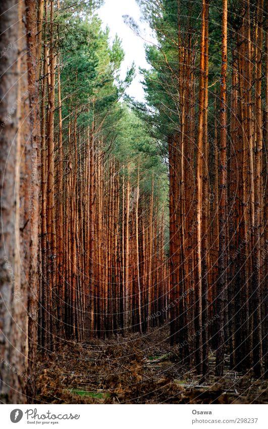 Schneise Umwelt Natur Landschaft Pflanze Baum Nadelbaum Wald Zerstörung Forstwirtschaft Kahlschlag Holz Holzwirtschaft grün Baumkrone Farbfoto Außenaufnahme