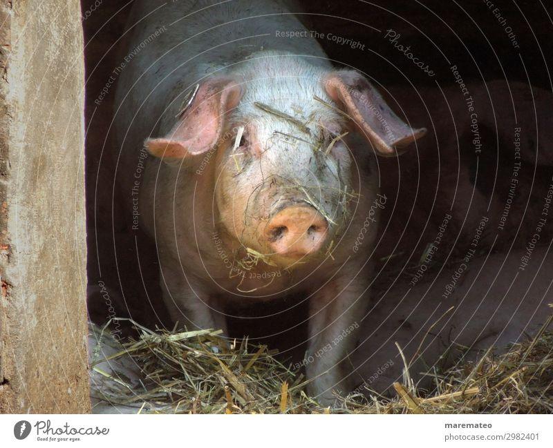 Glückliche Schweine Stroh Stall Schweinestall Tier Nutztier Tiergesicht Schweinerei Bauernhof Landwirtschaft Biologische Landwirtschaft 1 dreckig Fröhlichkeit