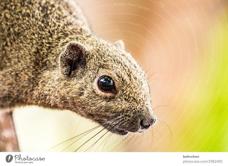 hörnchen Ferien & Urlaub & Reisen Tourismus Ausflug Abenteuer Ferne Freiheit Wildtier Tiergesicht Fell Eichhörnchen Auge Nase außergewöhnlich exotisch