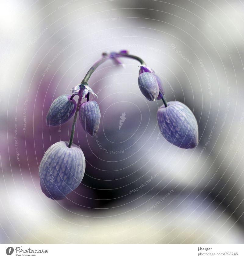 kopf hängen lassen Natur blau Pflanze Blume Frühling Blüte rosa Sträucher türkis exotisch Wildpflanze