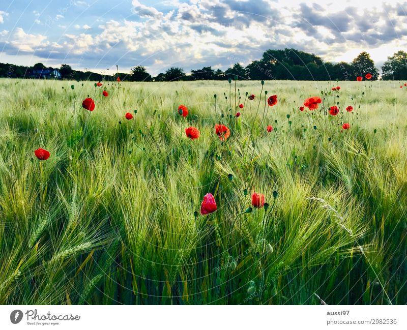 Fields of joy Mohn Getreide Sommer frisch Spaziergang harmonisch Ferien & Urlaub & Reisen Feld reif Ernte Lichteinfall Gras Landwirtschaft Mähdrescher