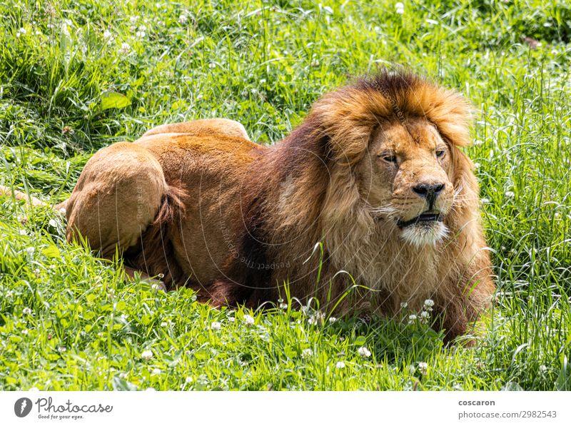 Ein männlicher Löwe, der in der afrikanischen Savanne ruht. schön Gesicht Ferien & Urlaub & Reisen Safari Sommer Zoo Natur Tier Sonne Frühling Gras Park Wiese