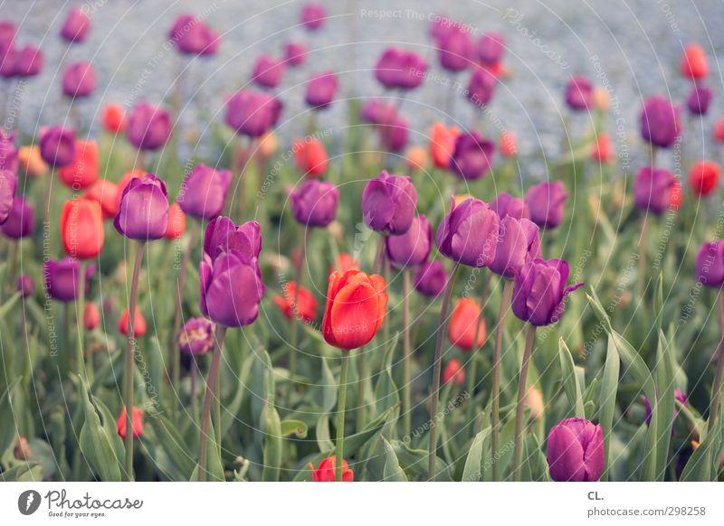 tulpen Umwelt Natur Landschaft Pflanze Frühling Blume Tulpe Garten Park Blühend schön grün violett rot Fröhlichkeit Lebensfreude Frühlingsgefühle Farbe