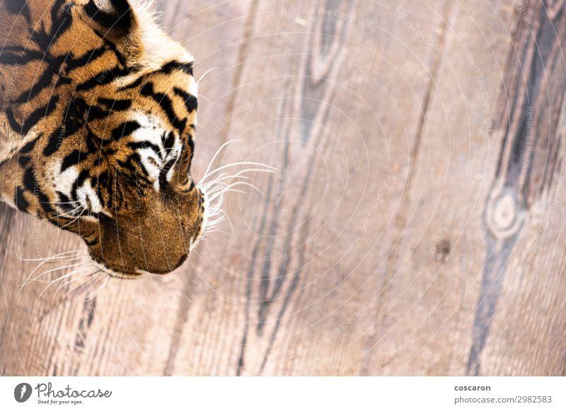 Luftaufnahme eines Tigerkopfes auf einem Käfig elegant schön Haut Gesicht Ferien & Urlaub & Reisen Tourismus Abenteuer Natur Tier Park Wildtier Katze