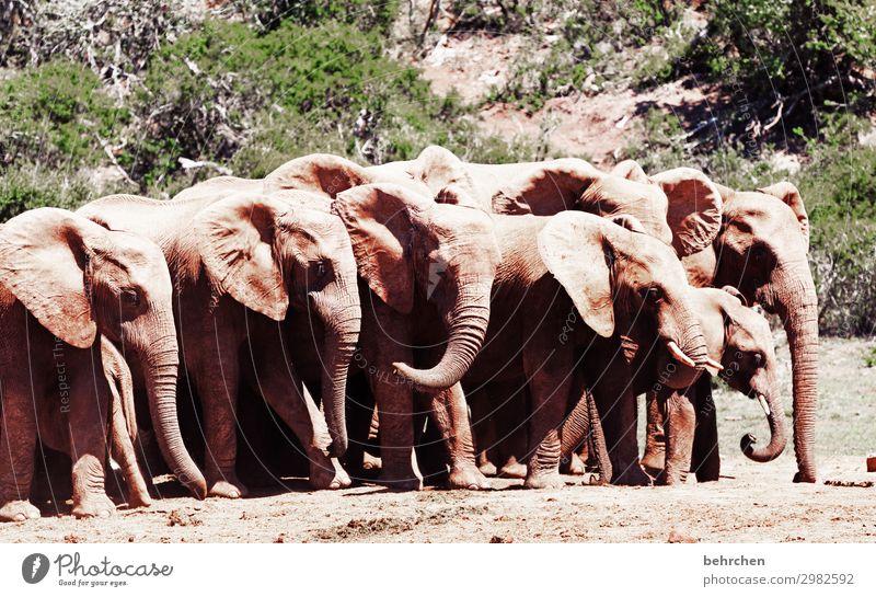 bläsertrupp frei wild Tier Afrika Natur Tierporträt Sonnenlicht Kontrast Licht Farbfoto Außenaufnahme Nahaufnahme Menschenleer Tag addo elephant national park
