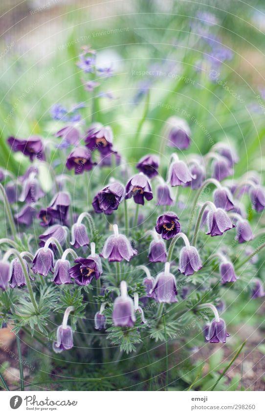 den Kopf hängen lassen Natur grün Pflanze Blume Landschaft Umwelt natürlich violett Blütenknospen Grünpflanze