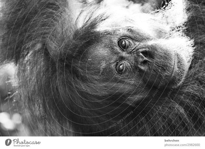 ohne worte Ferien & Urlaub & Reisen Tourismus Ausflug Abenteuer Ferne Freiheit Natur Urwald Wildtier Tiergesicht Fell Affen Orang-Utan 1 außergewöhnlich