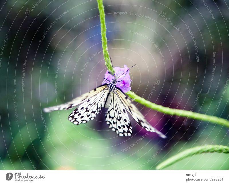 (to) flatter Umwelt Natur Pflanze Tier Frühling Blume Wildtier Schmetterling 1 exotisch natürlich schön grün mehrfarbig Farbfoto Außenaufnahme Makroaufnahme