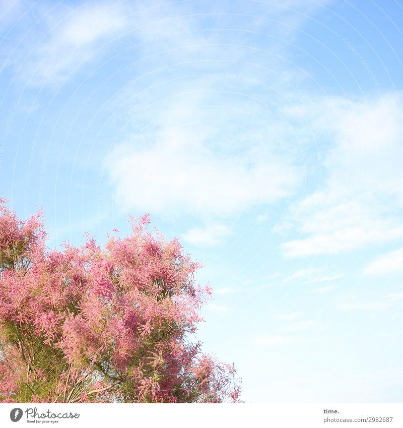 luftig | Wolkenpferd Himmel Natur blau schön Baum Leben Bewegung Zeit rosa träumen Wachstum ästhetisch Kreativität Lebensfreude Schönes Wetter