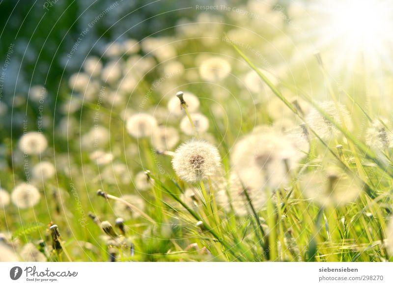 Kugelrundes Leuchten Natur grün schön Sommer Pflanze Sonne Blume Wiese Gefühle Gras Glück Blüte hell Stimmung Schönes Wetter Fröhlichkeit