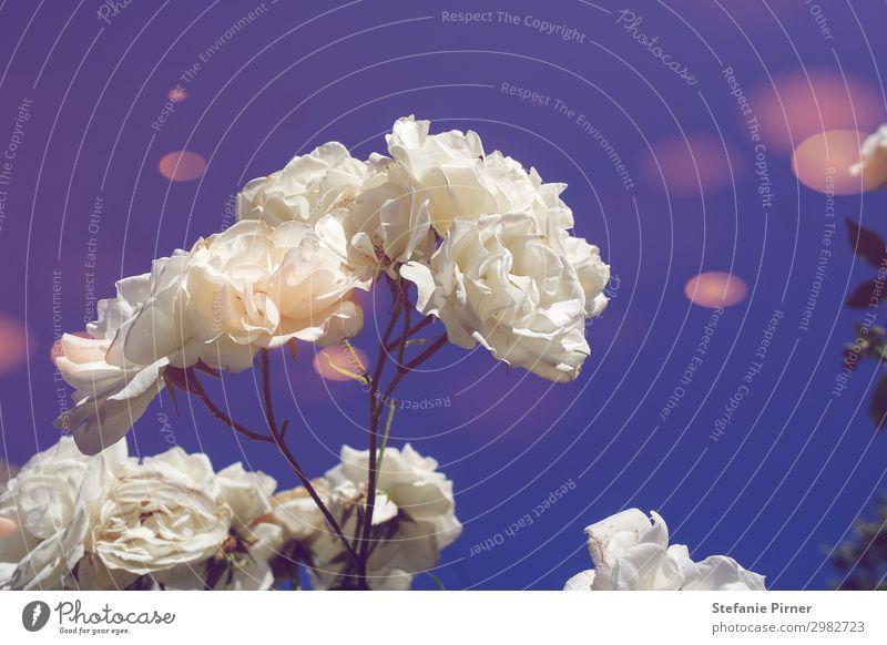 White roses Natur Pflanze Frühling Sommer Rose Weiße Rose Garten Park Wiese Gefühle Stimmung Frühlingsgefühle Sympathie Liebe Verliebtheit Romantik dankbar