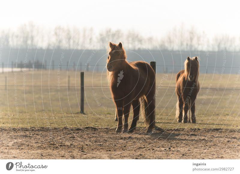 Warten auf Futter Natur Landschaft Baum Weide Tier Nutztier Pferd Fell Island Ponys 2 beobachten Blick stehen warten Freundlichkeit schön natürlich Neugier