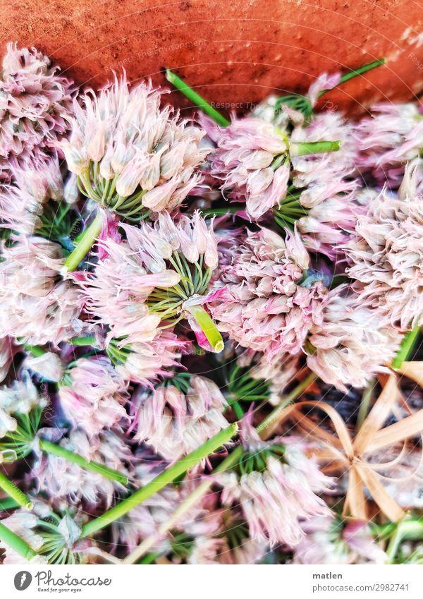 Lauchblueten Pflanze Blüte Nutzpflanze Blühend braun grün rosa weiß verblüht geschnitten Farbfoto Außenaufnahme Muster Strukturen & Formen Textfreiraum links