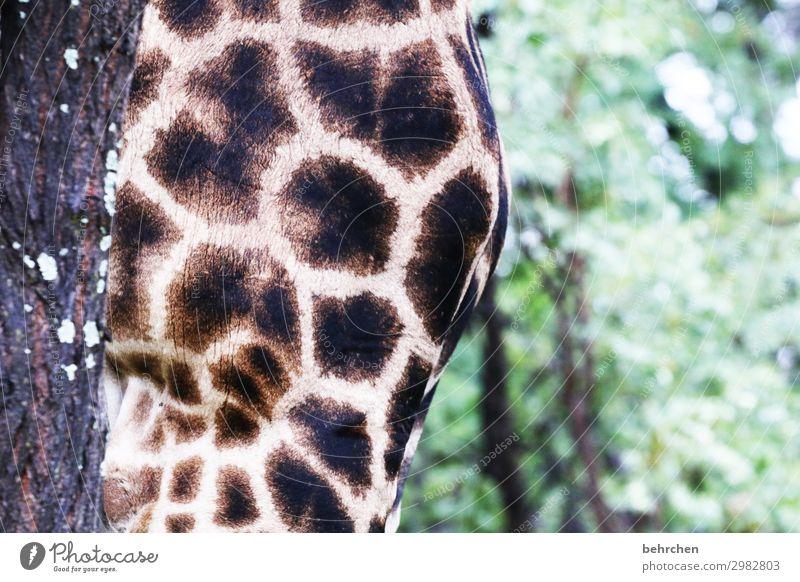 brust Ferien & Urlaub & Reisen Tourismus Ausflug Abenteuer Ferne Freiheit Safari Natur Wald Wildtier Fell Giraffe 1 Tier außergewöhnlich exotisch fantastisch